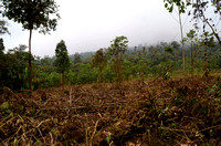Fig. 5. Deforestation 1km from A. ollalai population